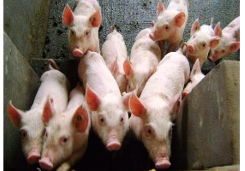 Anping Live Pig Breeding Base--Hebei