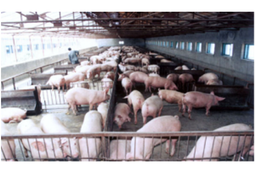 Runan Living Pig Export Base--Henan