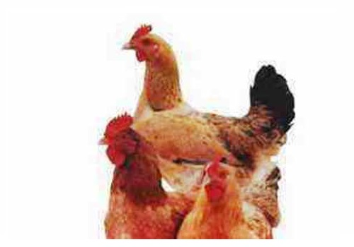 Summary of China Poultry Industry